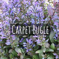 Carpet Bugle